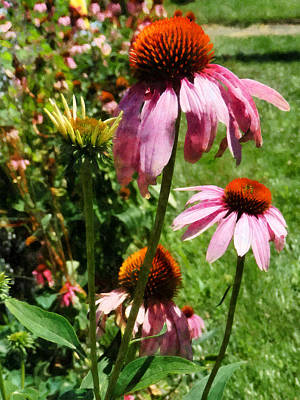 Coneflowers In Garden Poster by Susan Savad