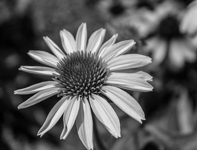 Conehead Daisy In Black And White Poster by Arlene Carmel