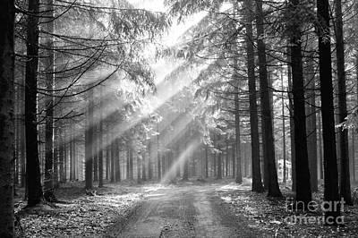 Conifer Forest In Fog Poster