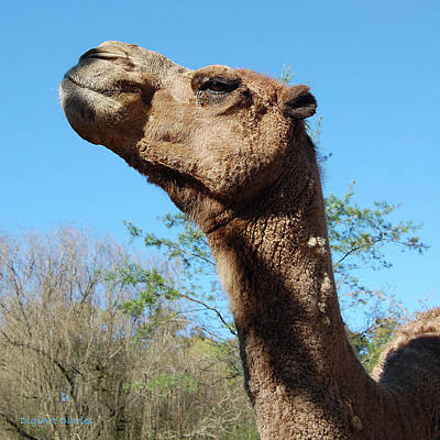 Contemptuous Camel Poster by DigiArt Diaries by Vicky B Fuller