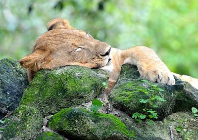 Contented Sleeping Lion Poster