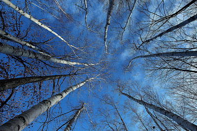 Converging White Birches Poster