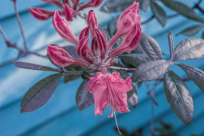Poster featuring the photograph Cool Sunset Budding Azalea by Aimee L Maher Photography and Art Visit ALMGallerydotcom