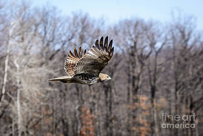 Coopers Hawk 2 Poster