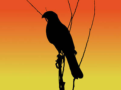 Coopers Hawk Silhouette At Sunset Poster
