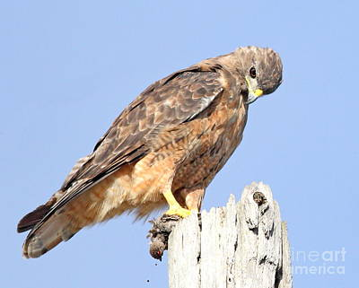 Coopers Hawk With Meal Poster