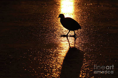 Coot Walks On Golden Ice  Poster