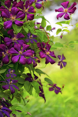 Copious Clematis Poster