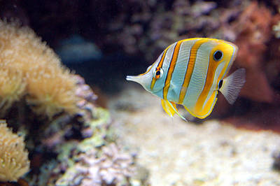 Poster featuring the photograph Copper-banded Butterfly Fish by Kathleen Stephens