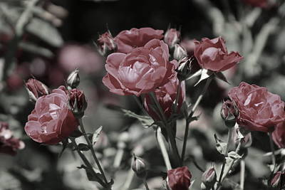 Copper Rouge Rose In Almost Black And White Poster
