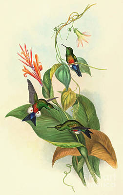Coppery Vented Puff Leg Poster by John Gould