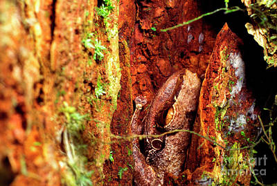 Coqui In Tree Bark Poster by Thomas R Fletcher