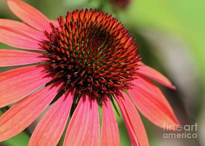 Coral Cone Flower Too Poster