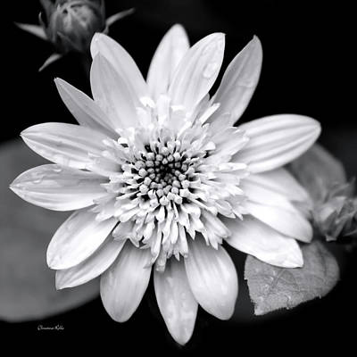 Poster featuring the photograph Coreopsis Flower Black And White by Christina Rollo