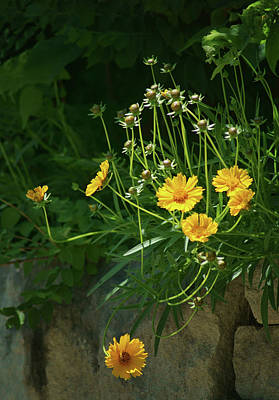 Coreopsis - Stone Wall Poster