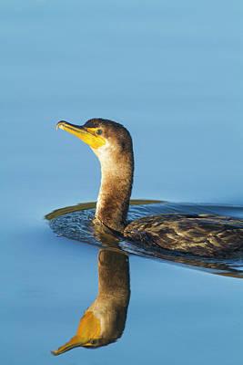 Cormorant Reflection Poster