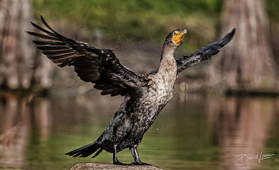 Cormorant Shaking Off Water Poster