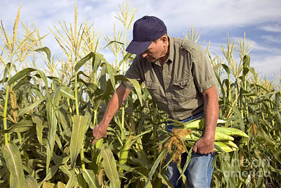 Corn Field And Farmer Poster