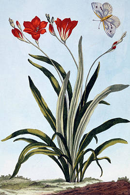 Corn Lilies Poster