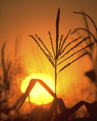 Cornfield Sunset Poster by Garry McMichael