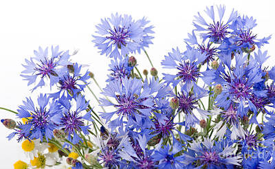 Cornflower And Chamomile Many Flowers  Poster