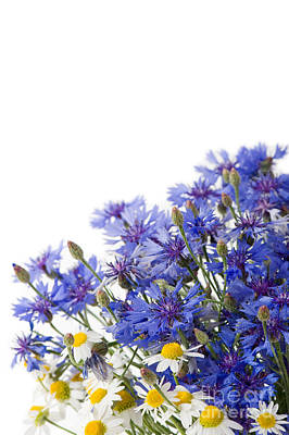 Cornflower And Chamomile Mix Of Flowers  Poster