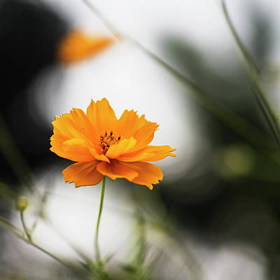 Cosmos Flower With Natural Bokeh Poster by Vishwanath Bhat