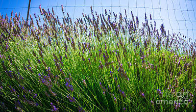 Country Lavender II Poster by Shari Warren