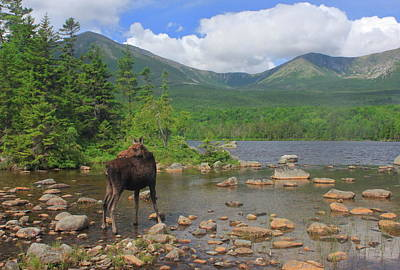 Cow Moose Looking Back At Sandy Stream Pond Poster by John Burk