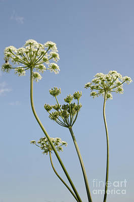 Cow Parsley Blue Sky Summers Day English Hedgerow Poster by Andy Smy