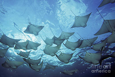 Cownose Rays Poster by Dave Fleetham - Printscapes