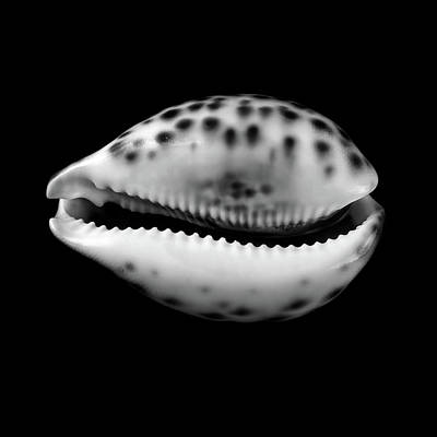 Cowry  Shell In Black And White Poster