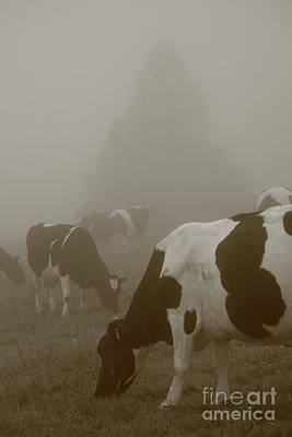 Cows In The Mist Poster