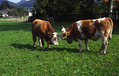 Cows Nuzzling Poster by Sally Weigand