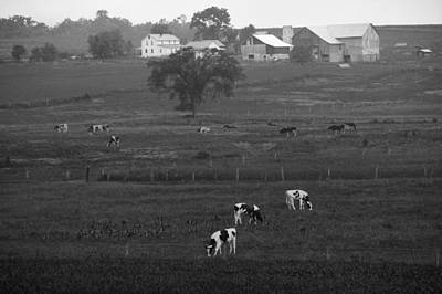 Cows On The Farm Black And White Poster
