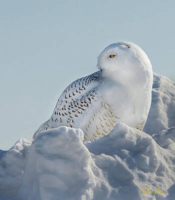 Poster featuring the photograph Coy Snowy Owl by Rikk Flohr