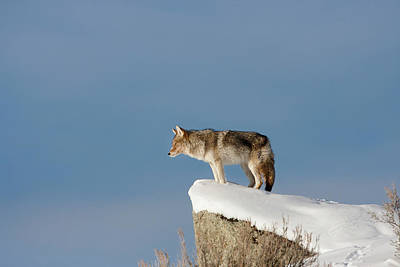 Coyote At Overlook Poster