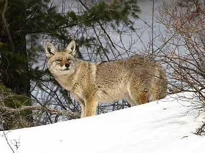 Coyote In Winter Poster by DeeLon Merritt