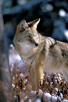 Coyote In Winter Light Poster