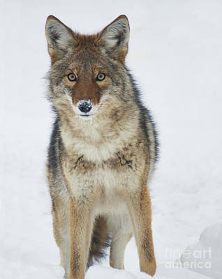 Coyote Looking At Me Poster