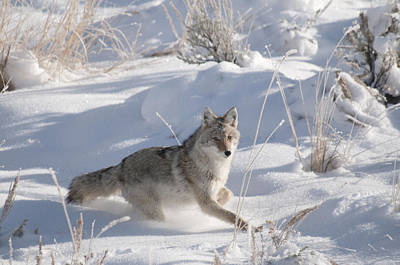 Coyote On The Move Poster