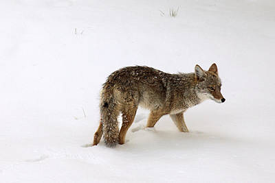Coyote On The Prowl Poster by Mike Buchheit