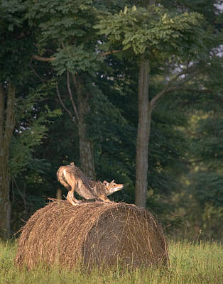 Coyote Stretching On Hay Bale Poster