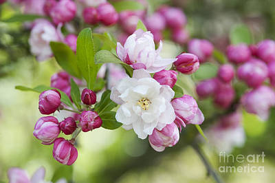 Crab Apple Snow Cloud Blossom Poster by Tim Gainey