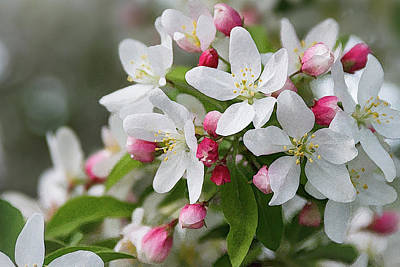 Crabapple Blossoms 12 - Poster