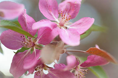 Crabapple Tree  Pink Flowers Poster by Jenny Rainbow
