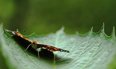 Poster featuring the photograph Cradled Painted Lady by Debbie Oppermann