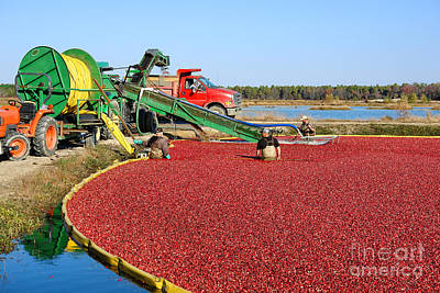 Cranberry Farming Poster by Olivier Le Queinec