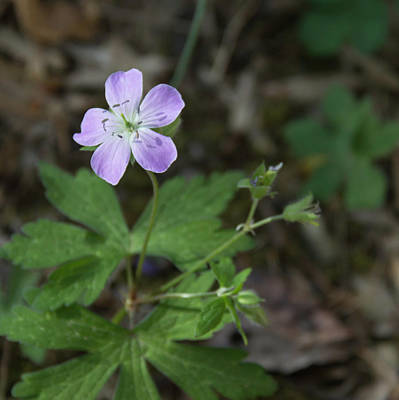 Cranesbill Squared Poster by Teresa Mucha