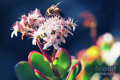 Poster featuring the photograph Crassula Ovata Flowers And Honey Bee by Sharon Mau
